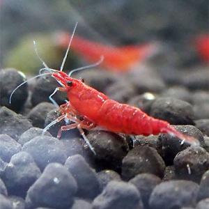 【特徴】 チェリーレッドシュリンプの赤味を強くした改良品種です。 真っ赤な色が水槽の中で鮮やかに映え...