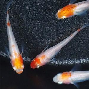 【特徴】 普通種体型。 朱赤と白の二色柄が美しい透明鱗めだかです。  頭の部分が赤い丹頂を種親にして...