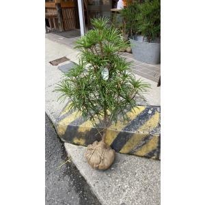 高野槇(コウヤマキ)苗木/60cm〜70cm/種から約11年|m-t-s