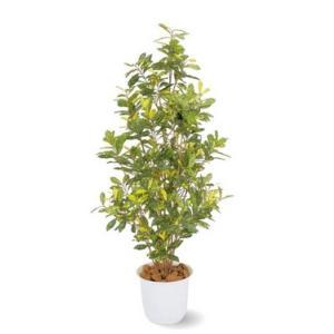 人工植物 アオキ 鉢付 1.5m 室内用 |m1shop