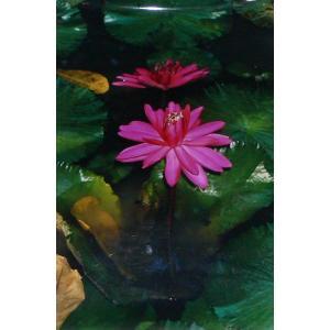熱帯スイレンの写真ポスター 睡蓮|mahanadi