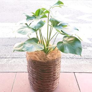 観葉植物  モンステラ 御祝1万円 新築祝 開店祝 開業祝 引越祝 茶系鉢カバー