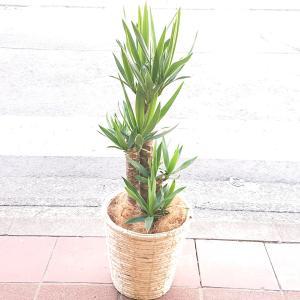 観葉植物  ドラセナ ユッカ 青年の木 御祝1万円 新築祝 開店祝 開業祝 引越祝 白系鉢カバー