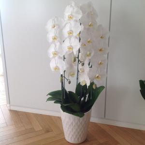 この度は弊店の商品をご覧いただきまして誠にありがとうございます。 お祝い花として定番の胡蝶蘭ホワイト...