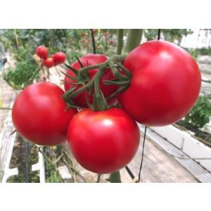 無農薬トマト 渥美産 ぜいたくトマト 「とまとのこころ」 1kg|mak|02