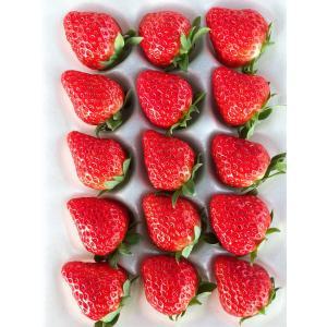 いちご 紅ほっぺ 新鮮 朝摘み 産地直送 渥美産 完熟いちご 1シート入り|mak