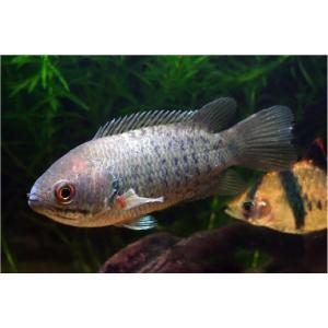 (熱帯魚・アナバス) キノボリウオ  7cm± 2匹|mame-store