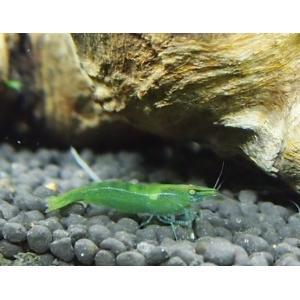 (エビ) インドグリーンシュリンプ 1.5cm± 10匹|mame-store