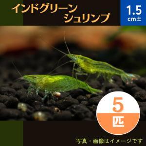 (エビ) インドグリーンシュリンプ 1.5cm± 15匹|mame-store