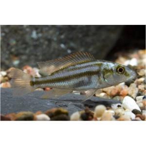 (熱帯魚・アフリカンシクリッド) ディミディオクロミス・コンプレシケプス 3cm±  10匹 東南便|mame-store