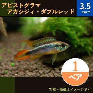 (熱帯魚・シクリッド) Ap.アガシジィ ダブルレッド MSサイズ  1ペア|mame-store