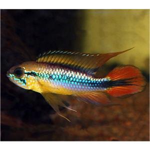 (熱帯魚・シクリッド) Ap.アガシジィ ダブルレッド MSサイズ 2ペア|mame-store