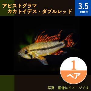 (熱帯魚・シクリッド) Ap.カカトイデス  MSサイズ 1ペア|mame-store