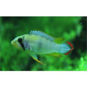(熱帯魚・シクリッド) Ap.パンドリニ MSサイズ  1ペア|mame-store