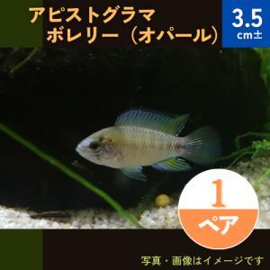 (熱帯魚・シクリッド) Ap.ボレリーオパール MSサイズ  1ペア|mame-store