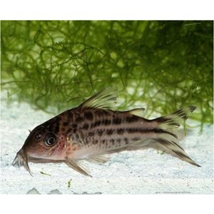 (熱帯魚・コリドラス)コリドラス・ロビネアエ MSサイズ 3匹|mame-store