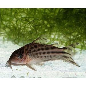 (熱帯魚・コリドラス)コリドラス・ロビネアエ MSサイズ 7匹|mame-store