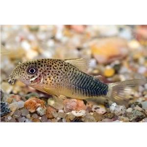 (熱帯魚・コリドラス)コリドラス・シミリス SMサイズ 3匹|mame-store