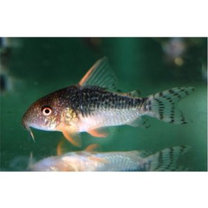 (熱帯魚・コリドラス)コリドラス・ゴッセイ MSサイズ 1匹|mame-store