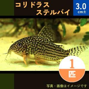 (熱帯魚・コリドラス)コリドラス・ステルバイ SMサイズ 3匹|mame-store