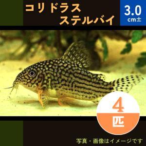 (熱帯魚・コリドラス)コリドラス・ステルバイ SMサイズ 10匹|mame-store