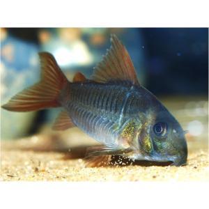 (熱帯魚・コリドラス)コリドラス・コンコロール MSサイズ 3匹|mame-store