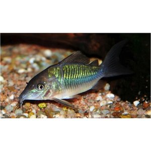 (熱帯魚・コリドラス)ブロキス MSサイズ 3匹|mame-store