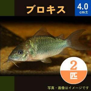 (熱帯魚・コリドラス)ブロキス MSサイズ 5匹|mame-store