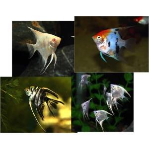 (熱帯魚・エンゼルフィッシュ)ミックスエンゼル(色おまかせ) SMサイズ 3匹|mame-store