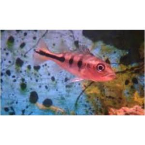 (熱帯魚・シクリッド)シクラ・オセラリス  6cm± 7匹|mame-store