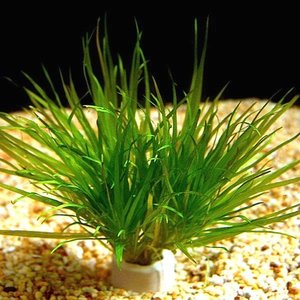 (有茎草・水草) ブリクサジャポニカ 水中葉(3束分)|mame-store