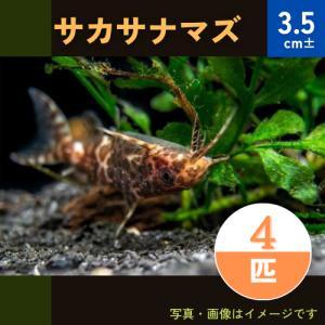(熱帯魚・ナマズ)サカサナマズ 3.5cm± 4匹|mame-store