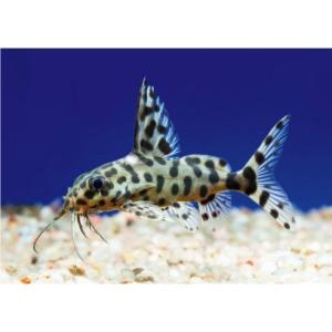 (熱帯魚・シノドンティス)シノドンティス・オセリファー 5cm± 2匹|mame-store