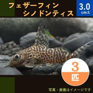 (熱帯魚・シノドンティス)フェザーフィン・シノドンティス 3cm± 5匹|mame-store