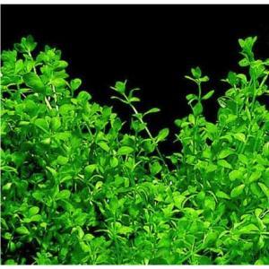 (有茎草・水草) パールグラス 水中葉 (3束分)|mame-store