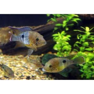 (熱帯魚・シクリッド)グリーンテラー SMサイズ 3匹|mame-store