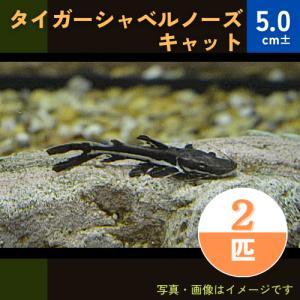 (熱帯魚・ナマズ)タイガーショベルノーズ  5cm± 2匹|mame-store