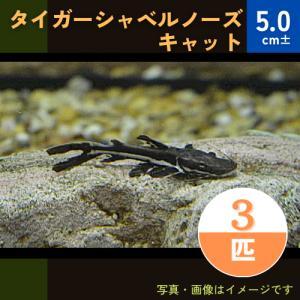 (熱帯魚・ナマズ)タイガーショベルノーズ  5cm± 3匹|mame-store