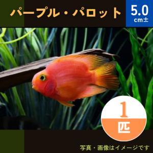 (熱帯魚・シクリッド)パープルパロット SMサイズ 1匹|mame-store