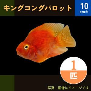 (熱帯魚・シクリッド)キングコングパロット 8cm± 1匹|mame-store