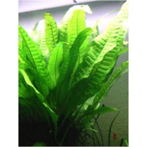 (水草)ミクロソリウム プテロプス(5束分)|mame-store