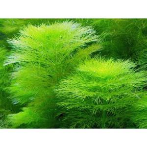 アンブリアは安価で生長が早くとても丈夫な水草です。 pH4.5〜8.8、水温は32℃でも育ち、軟水〜...