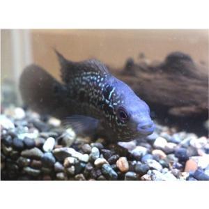 (熱帯魚・シクリッド)フラワーホーン・フライングドラゴン(紅面飛龍)4cm± 3匹 mame-store