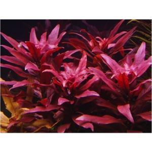 (有茎草・水草) ルドヴィジアグランデュローサ 水中葉 (3束分)|mame-store