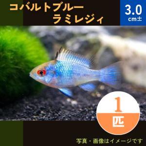 (熱帯魚・シクリッド)コバルトブルーラミレジィ MSサイズ 3匹|mame-store