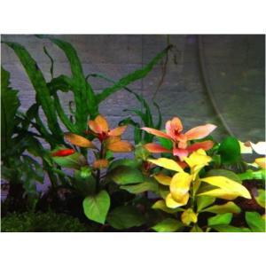 (有茎草・水草) (インボイスネーム)ルドヴィジアナタンス 水中葉 (5束分)|mame-store