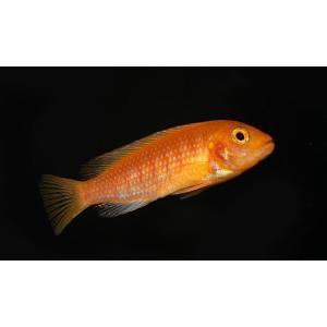 (熱帯魚・アフリカンシクリッド)レッドゼブラシクリッド SMサイズ 5匹|mame-store
