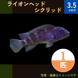 (熱帯魚・アフリカンシクリッド)ライオンヘッドシクリッド 5cm± 1匹|mame-store