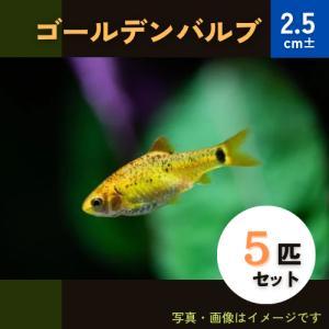 (熱帯魚・コイ)ゴールデンバルブ MSサイズ 5匹|mame-store
