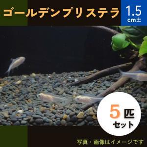 (熱帯魚・カラシン)ゴールデンプリステラ MSサイズ 5匹|mame-store
